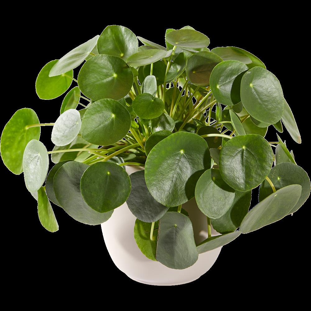 Pannenkoekenplant Inclusief Pot