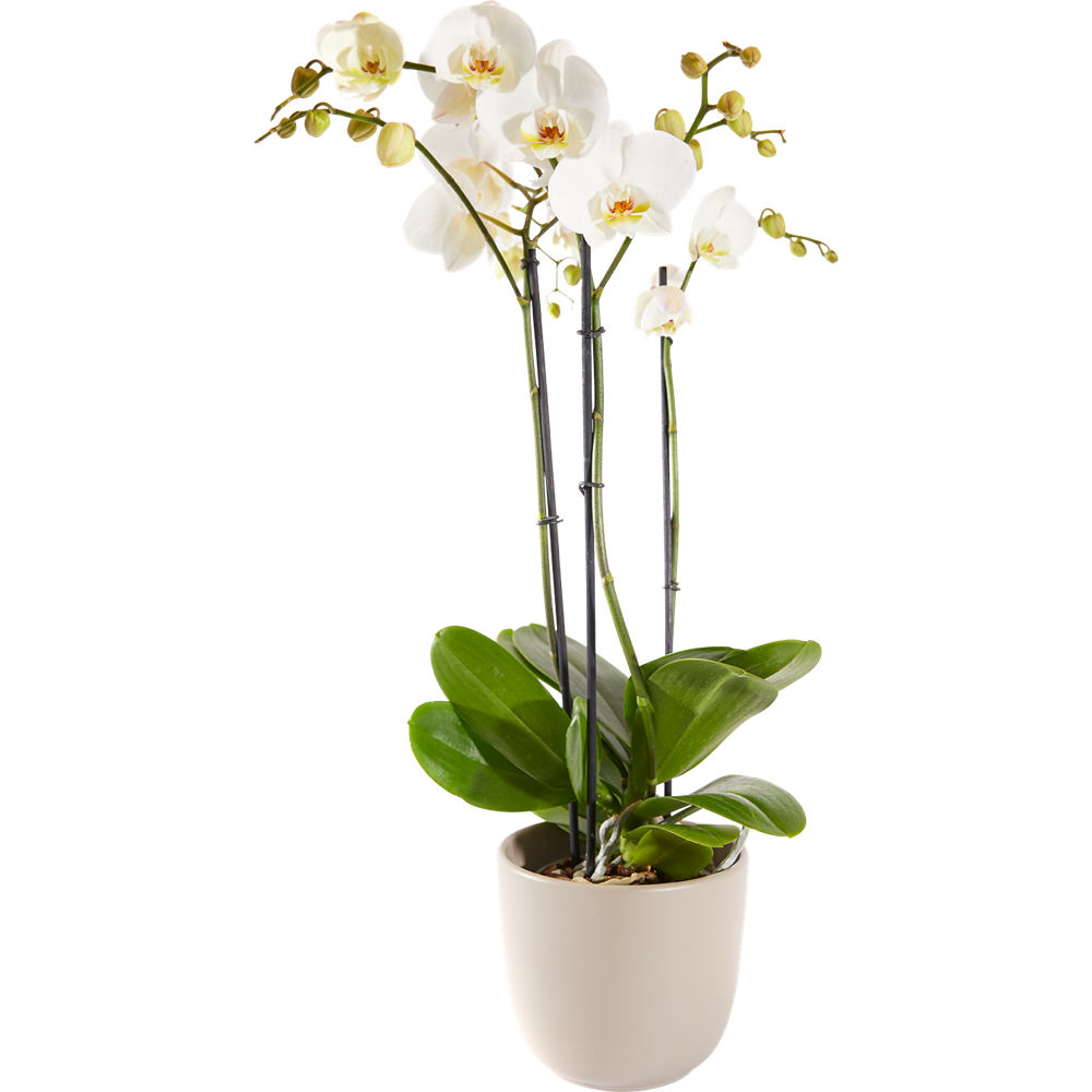 Orchidee Inclusief Pot
